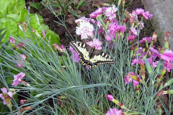 Бабочка Разное Ухта
