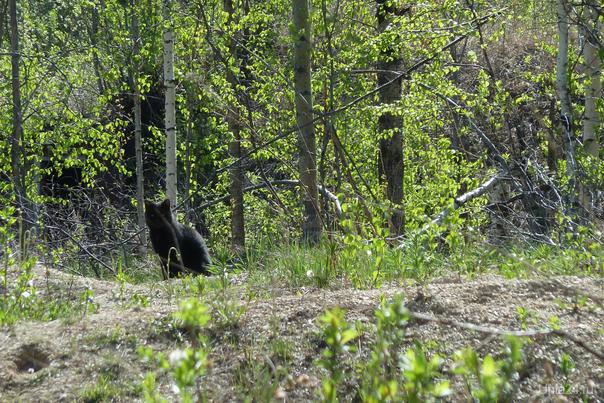 Пантера встречена в окрестностях г. Ухты ;))) Природа Ухты и Коми Ухта