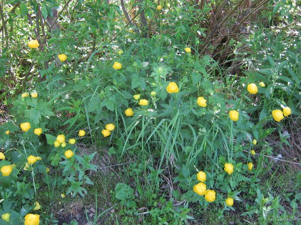 Купальница, дикие цветы Природа Ухты и Коми Ухта