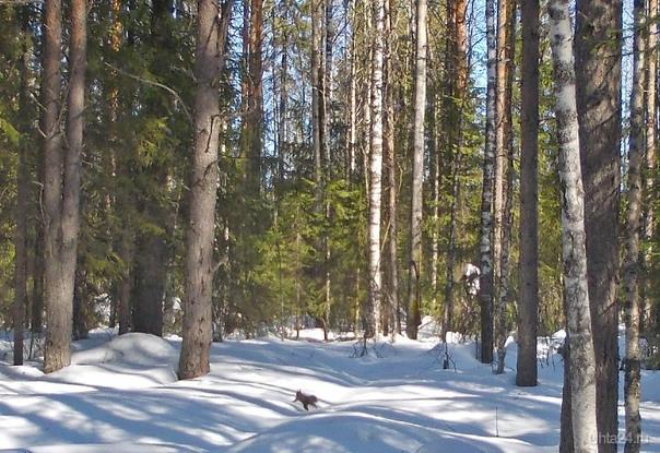 Иду и думаю, что там шуршит, потрескивает в ветках деревьев слева и справа от дорожки, а чириканья не слышно. Пока оно мне чуть на голову не свалилось - белка. Пока достала фотоаппарат, она далеко убежала. Здесь сильное увеличение. Природа Ухты и Коми Ухта
