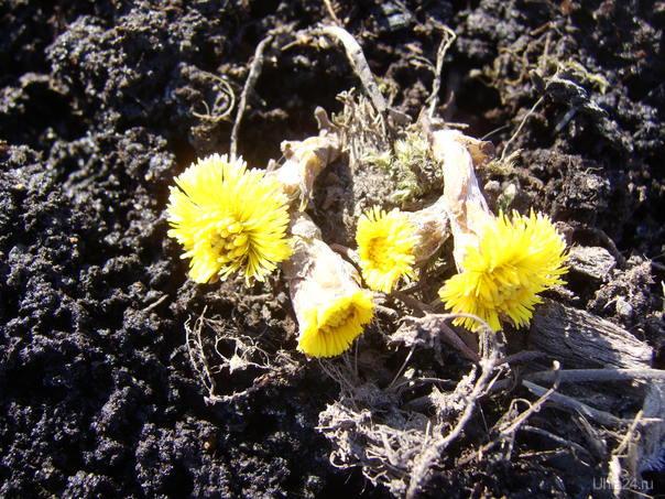 Вот и появились первые цветы.  Мать - мачеха. Природа Ухты и Коми Ухта