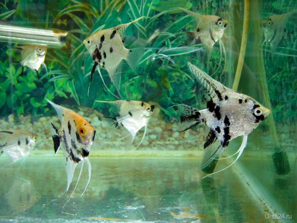 Аквариумные рыбки Разное Ухта