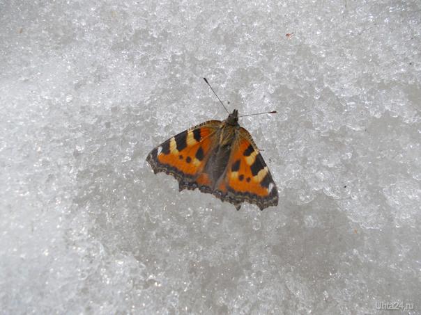 Бабочка проснулась рано. 18 апреля Разное Ухта