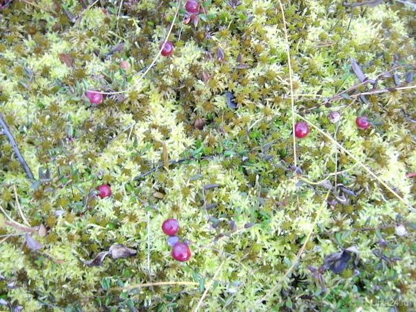 Клюква, сентябрь 2009г. Природа Ухты и Коми Ухта