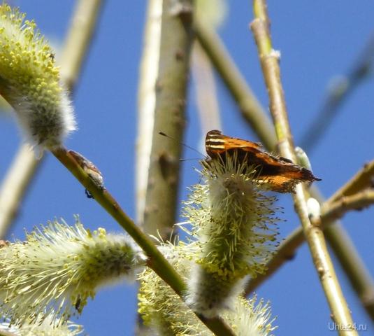 Вербочка и бабочка. Природа Ухты и Коми Ухта