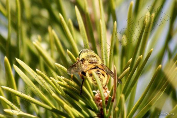 жёлтый полосатый мух Природа Ухты и Коми Ухта
