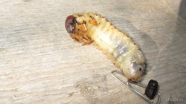 личинка майского жука приехала на дачув торфе Природа Ухты и Коми Ухта