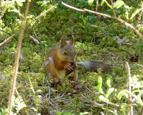 Как же здорово - пройтись по сосновому лесу и встретить белку,которая...  песенки поет да орешки все грызет. Природа Ухты и Коми Ухта