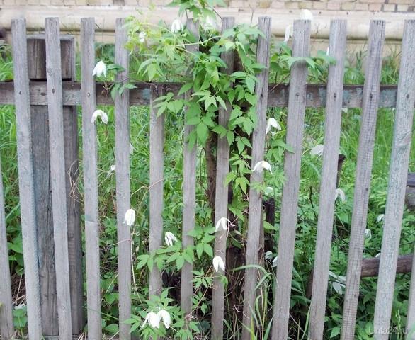 Дальний, лето, цветы подзаборные  Ухта