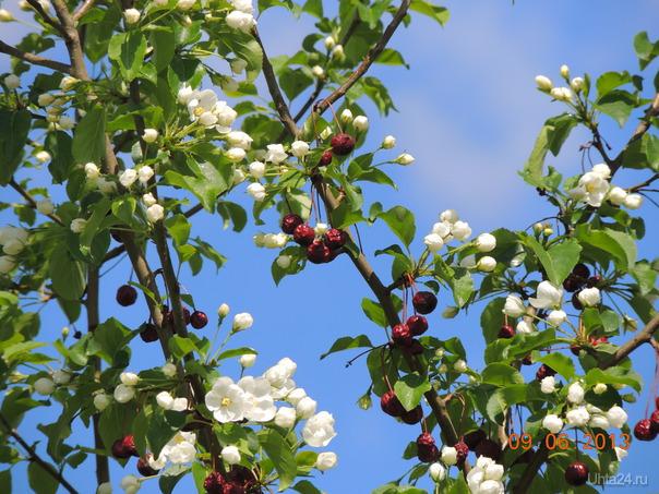 Яблоня расцвела Природа Ухты и Коми Ухта