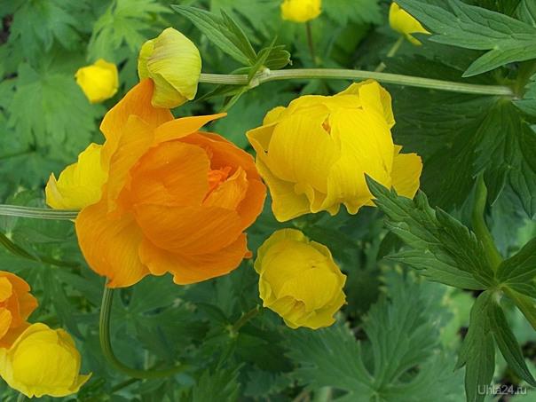 Купальница. Больше 20 лет росли одни желтые. Откуда то сами завелись оранжевые.    Ухта