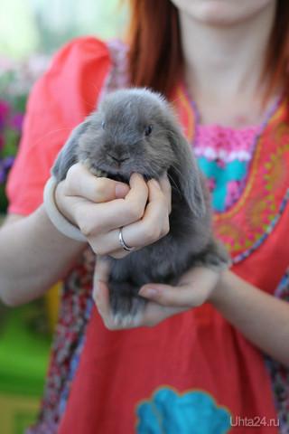 Мой кролик-Лушка)))...порода Карликовый Баран ST NHD,окрас голубой мардер))) Питомцы Ухта