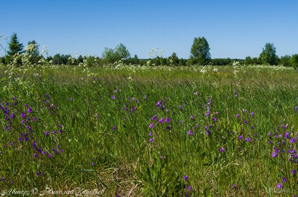 Началось цветение колокольчиков в наших северных полях. Природа Ухты и Коми Ухта