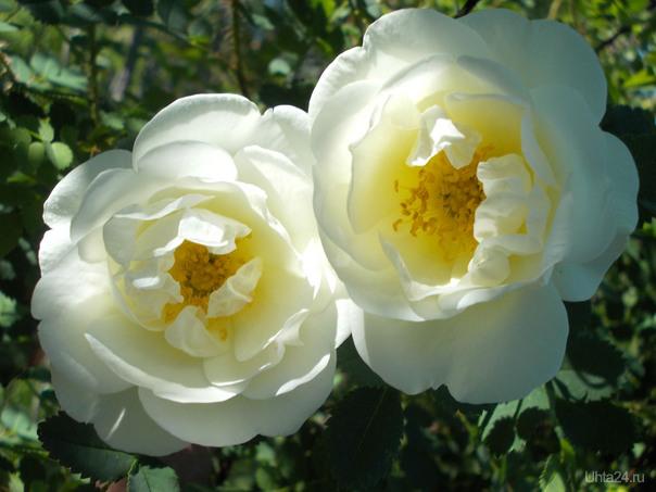 Роза какая-то. Парковая, наверное. Вполне симпатичная, но разрастается сильно.   Ухта