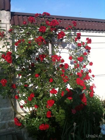 Розы. Разное Ухта