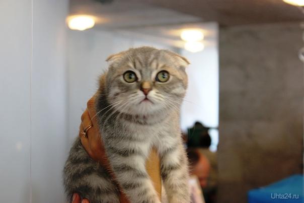 Выставка кошек. Мероприятия Ухта