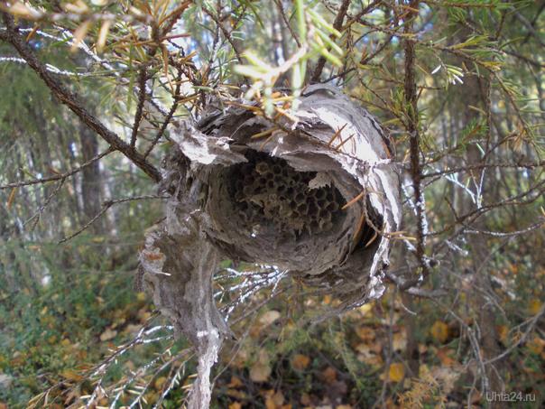 Гнездо осы, вид снизу. Если бы осы жили, то они быстро заделали бы повреждение. Природа Ухты и Коми Ухта