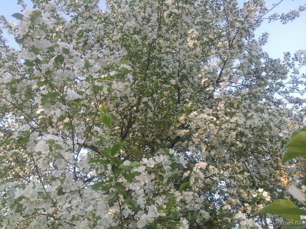Яблонька в шудаяге около бывшего поссавета  Ухта