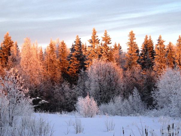 Вечером.Лес освещенный солнцем. Природа Ухты и Коми Ухта