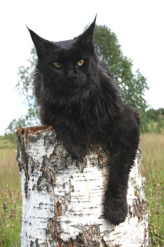 питомник Мейн Кунов г.Ухта 89121117790 У нас есть котята Питомцы Ухта