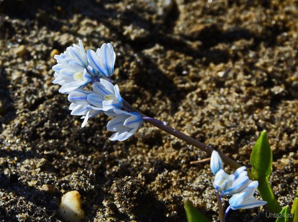 цветёт крокус.. Природа Ухты и Коми Ухта