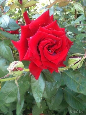 Утро,роза   Творчество, хобби Ухта