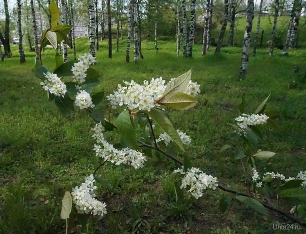 Ветка черемухи в цвету  Ухта