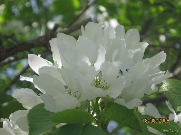 и яблонька бывает цветет у нас Природа Ухты и Коми Ухта