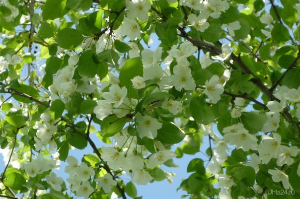 Северная яблонька Природа Ухты и Коми Ухта