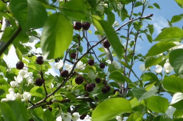 Яблоки прошлогоднего урожая  Ухта