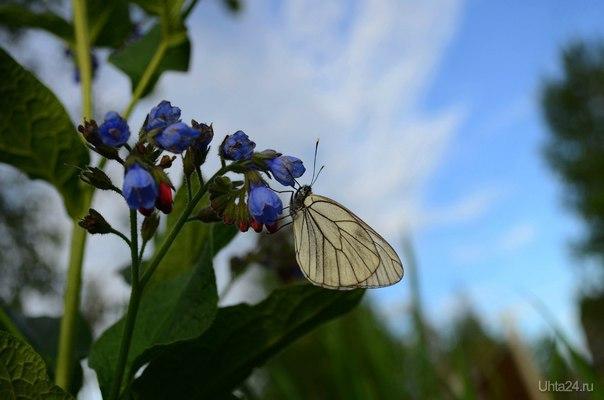 Бабочка  Ухта