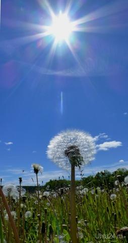 Одуванчик полевой + яркое солнышко= ЛЕТО. Природа Ухты и Коми Ухта