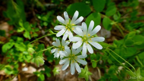 Цветочки луговые. Природа Ухты и Коми Ухта