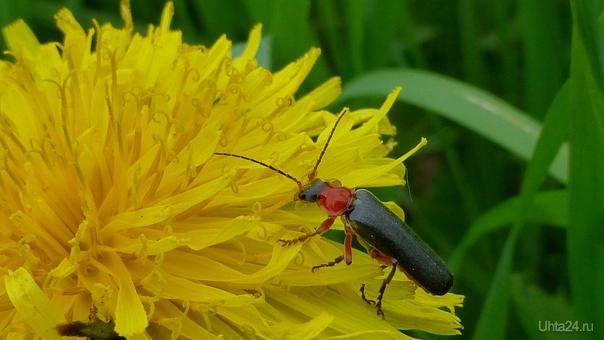 Поражаюсь,как много насекомых любят одуванчики.И еще, очень понравились завитушечки у одуванчика.Такая прелесть! Природа Ухты и Коми Ухта