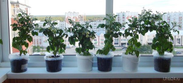 """Помидоры """"Балконное чудо"""" на балконе. Самый крупный помидор размером с вишенку.  Ухта"""
