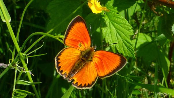 Бабочки летают... бабочки. Природа Ухты и Коми Ухта