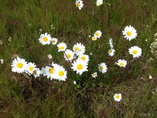 Полевые цветы Природа Ухты и Коми Ухта