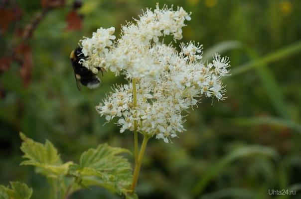 Шмель в трудах и заботах, собирает с таволги нектар. Природа Ухты и Коми Ухта