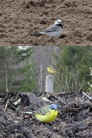 В продолжение про птенца. Может эти взрослые птички его сородичи? Серые птички стали прилетать к нам  весной года 3-4 назад. И только один раз увидела жёлтенькую - как волнистый попугайчик.  Природа Ухты и Коми Ухта