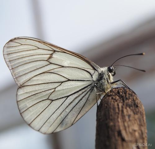 Бабочка Капустница Природа Ухты и Коми Ухта