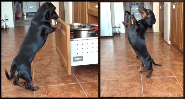Общий любимчик Саймон, за кусочек колбаски закрывает ящик, за кусочек сыра танцует. Питомцы Ухта