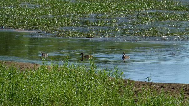 Утки вернулись.Скоро они будут не плавать, а ходить , так заросло в парке культуры и отдыха.Бедные, бедные уточки. Природа Ухты и Коми Ухта