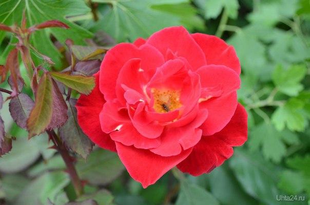 Роза на даче.  Ухта