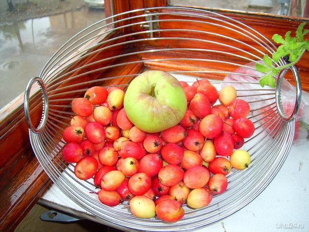 Северные яблочки Природа Ухты и Коми Ухта