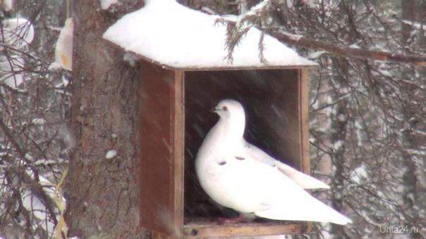 Снегопад и голубка. Природа Ухты и Коми Ухта