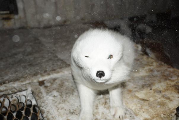 Зимний песец, прикольнее Природа Ухты и Коми Ухта