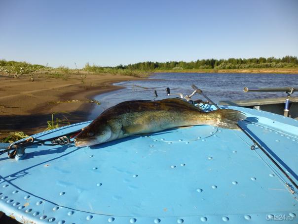 Редкая в Вычегде рыбка... Природа Ухты и Коми Ухта