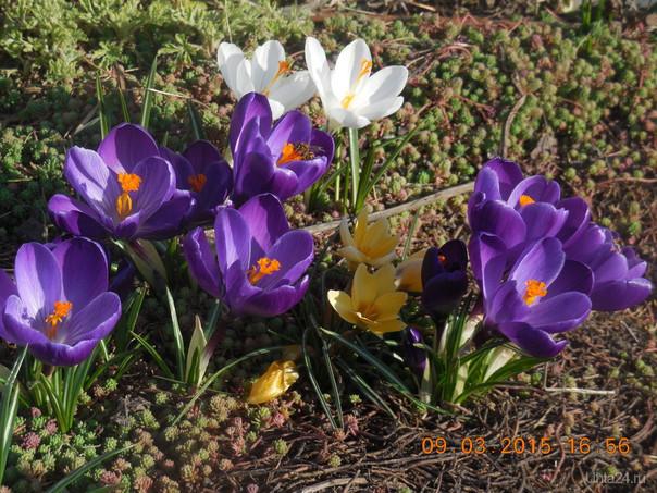 А у нас в Краснодаре крокусы уже цветут вовсю!))) Разное Ухта