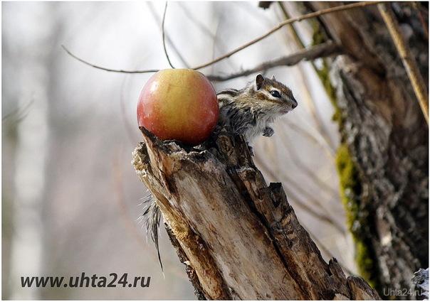 2015г. По чём нынче яблочки? Природа Ухты и Коми Ухта