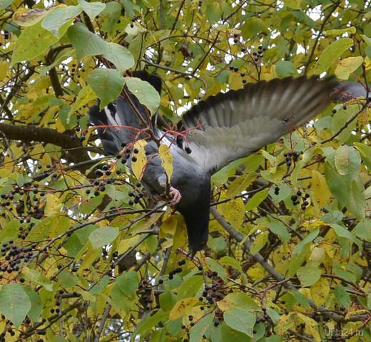 Первый раз увидела как голуби черёмуху клюют Природа Ухты и Коми Ухта